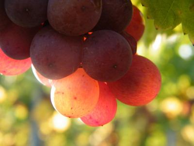 Bioweine aus der Pfalz