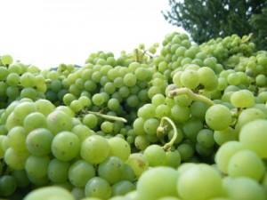 Trauben für die Herstellung von Bio Verjus