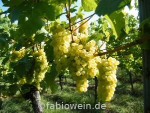 Weinlese 2012 in der Pfalz