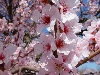 Mandelblüte in der Südpfalz